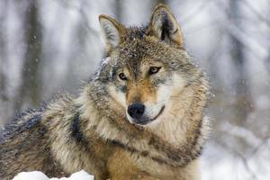 grå varg (canis lupus) på vintern foto