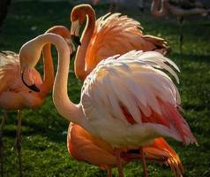 ljusrosa flamingo på den gröna bakgrunden foto