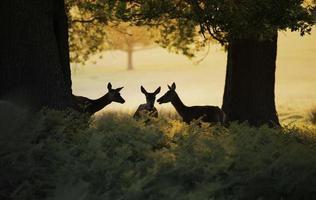 röda hjortar foto