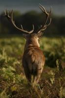 hjortar i kvällsljus foto