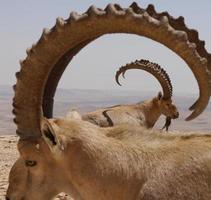 dubbelt horn foto