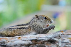 ekorre äter mutter foto
