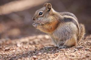chipmunk i nationalparken med steniga berg