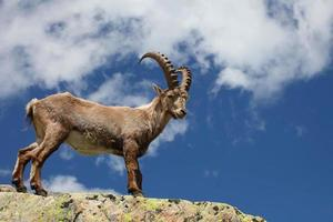 capra ibex foto