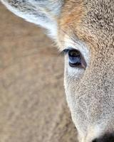 whitetail hjort dollar foto