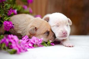 två nyfödda valpar foto