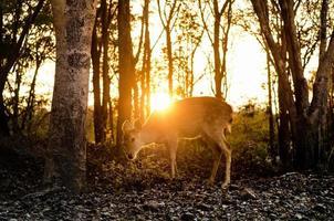 prickig hjort i skogen foto