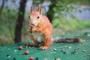 den eurasiska röda ekorren som äter solrosfrön foto