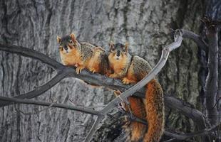 röda ekorrar på trädbenet foto