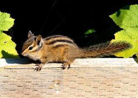chippie chipmunk foto