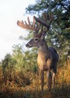 vit-tailed buck i sammet foto