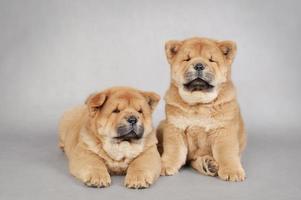 två små chow-chow valpar stående foto
