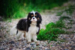 ung manlig cavalier king charles spaniel hund i sommarträdgård foto