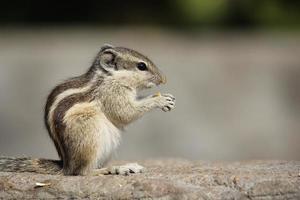 liten gnagare som äter en ekollon foto