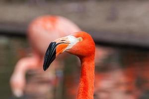 porfile porträtt av amerikansk flamingo foto