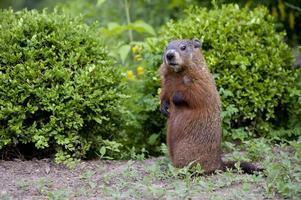 ung Groundhog valp, även känd som en woodchuck foto