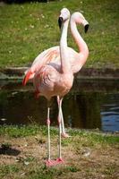 större flamingos tittar i olika riktningar foto