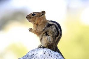 söt chipmunk foto