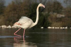 större flamingo, phoenicopterus ruber foto