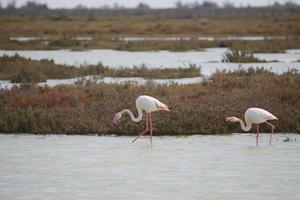 större flamingo (phoenicopterus roseus), camargue - france foto