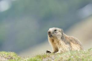 isolerad marmot foto