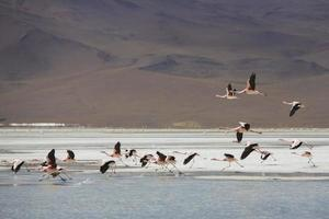 grupp flamingo som flyger över lagunen, Bolivia foto