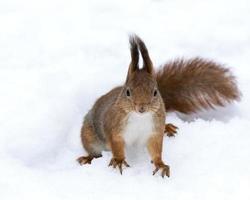 röd ekorre på vintern foto