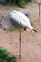 fågelns flamingos sover på en fot. foto