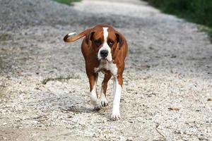smart kvinnlig amerikansk bulldogg på en djurgård foto