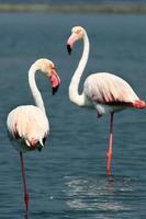två flamingos foto