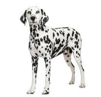 dalmatian stående, isolerad på vitt foto