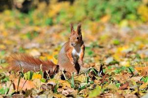 ekorre - en gnagare från ekorrfamiljen. foto