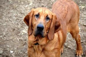 blodhundvalp foto