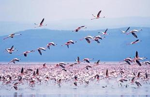 mindre flamingo (phoeniconaias minor) foto