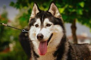 porträtt av en liten husky hund. foto