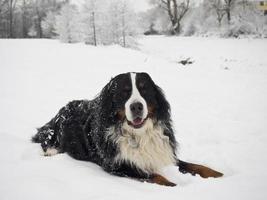 bernese mountain dog foto