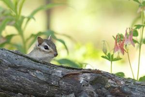 östra chipmunk som tittar över en stock på våren foto