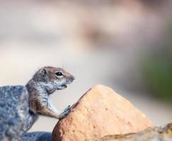 barbary mark syauirrel på Kanarieöarna foto
