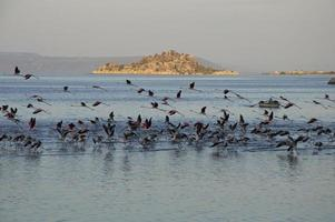 migrerande flamingos foto