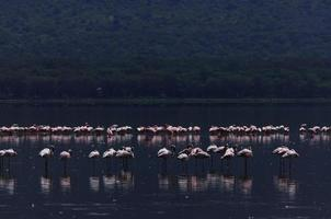 flamingo på sjön nakuru foto