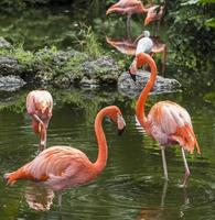 rosa flamingo i florida foto