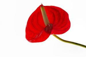röd anthurium foto