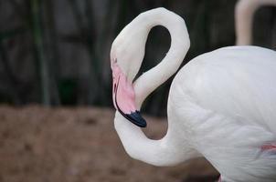 rosa flamingo foto