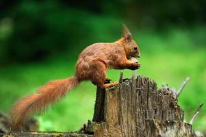 ekorre med nötter foto
