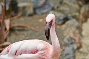 porträtt av en rosa flamingo foto