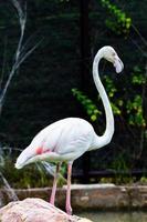 flamingo vackra porträtt foto