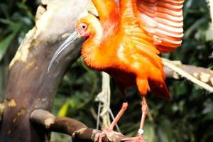 liten flamingo foto