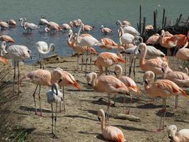 flamingo fågel