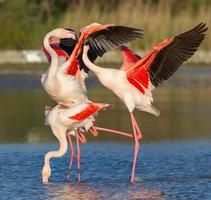 större flamingo (phoenicopterus roseus) - parning foto