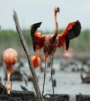 flamingo (phoenicopterus ruber) koloni. foto